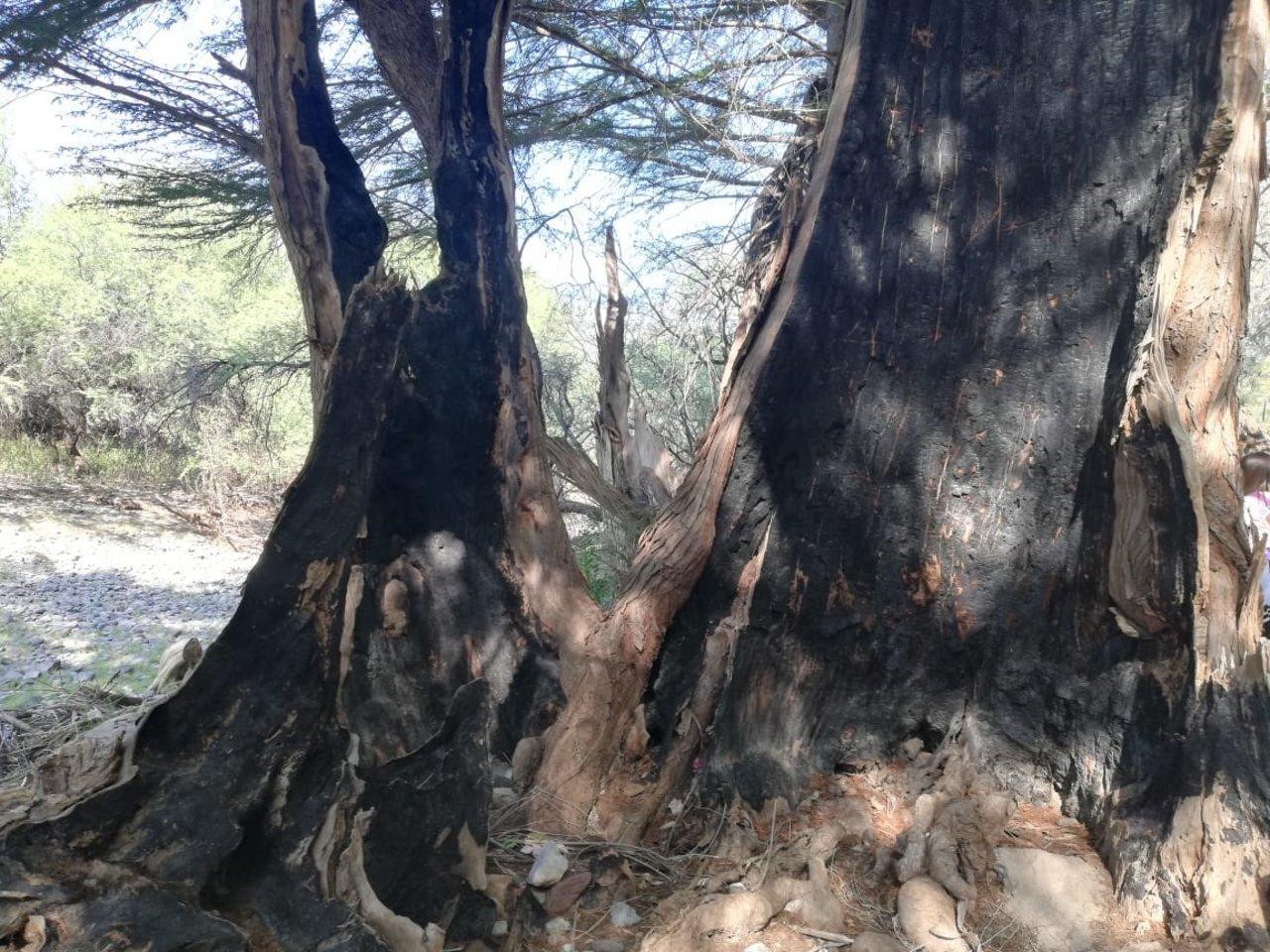 La huella desafortunada del hombre se puede ver en los árboles huecos por los incendios provocados por omisión o intencionalmente.