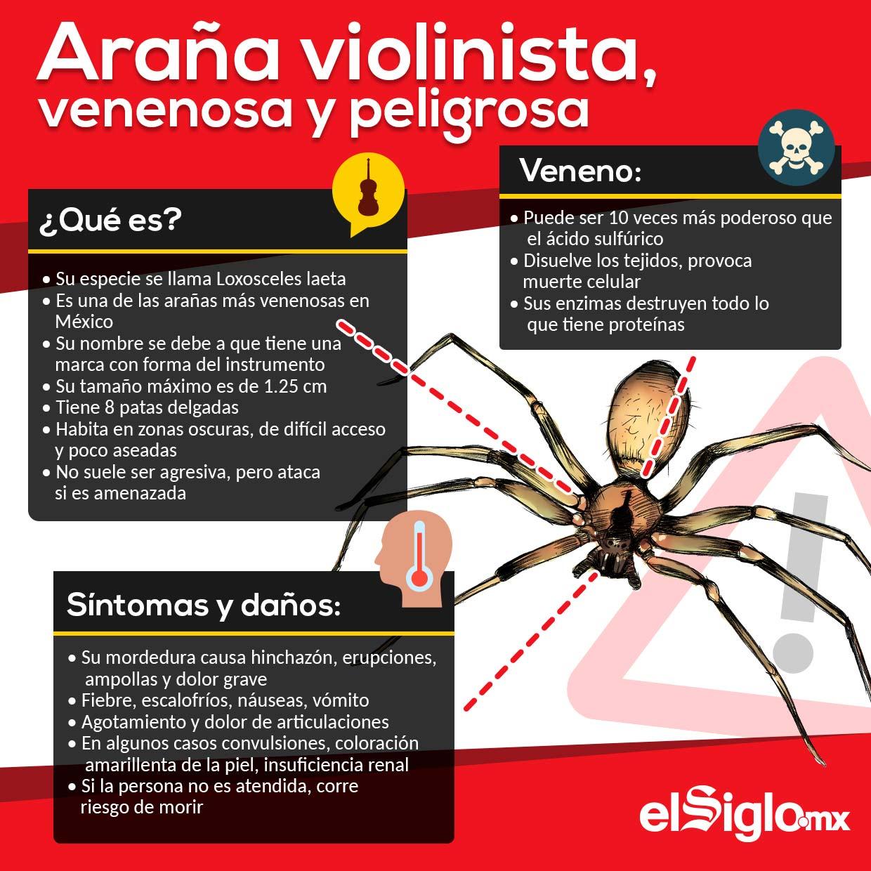 Araña violinista, venenosa y peligrosa