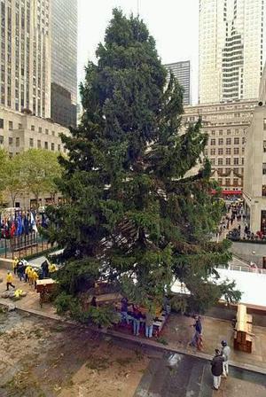 Preparan el tradicional Árbol Navideño que se instala año con año en la Plaza de  Rockefeller  en Nueva York