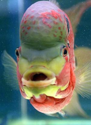 """El pez """"cuerno de flor"""" es exhibido en Kuala Lumpur, este pez es popular entre los fans de acuarios exóticos ya que se cree que atrae la buena suerte. El costo de este pez depende de  la redondez de su cuerpo, el color de las aletas, las manchas que representan la prosperidad pero sobre todo el cuerno en su frente."""