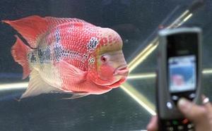 Un visitante fotografía al pez cuerno de flor con su teléfono móvil durante la exhibición en Kuala Lumpur.