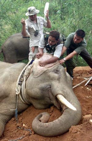 Este elefante salvaje asiático, es preparado para que se le administre una solución salina y poda ser transportado de Thailandia - donde fue capturado ilegalmente - a Bangkok.