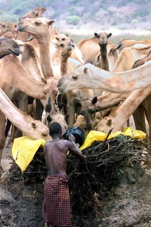Un hombre de la tribu de Turkana da de beber a sus camellos en un remoto pueblo de  Nachami en Kenya.