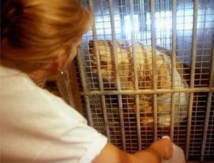Diana Weinhardt experta en mamíferos grandes del Parque zoológico de Houston cuida de un enorme oso polar en el aeropuerto de San Juan de Puerto Rico. Seis osos polares fueron confiscados por el Departamento de pesca y fauna  de Estados Unidos al Circo Hermanos Suárez ya que estaban siendo criados en zona de calor caribeño. Los osos tendrán un nuevo hogar en en zoológico de Michingan al Norte de Carolina.