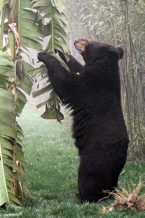 Un oso asiático come hojas de plátano en un santuario de bambú durante la inauguración del centro de rescate 'Moon Bear' en China. Veinte de 84 osos fueron rescatados y puestos en libertad en este santuario por primera vez después de haber sido secuestrados ilegalmente por cazadores en el país. La casa de osos negros es ilegal en China, pero a pesar de esto los animales son  perseguidos por fanáticos cazadores  que después venden en partes sus cuerpos.