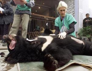 Un veterinario examina un gran oso negro sedado en el centro de rescate del oso en una provicia en China. Veinte de los 84 osos del centro fueron puestos en libertad en un bosque después de haberlos rescatado  de cazadores ilegales en el país que pretendían negociar con sus vesículas, piel y otras partes del cuerpo.