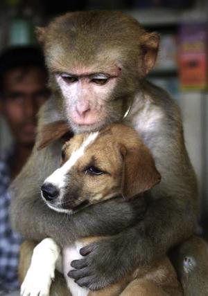 Un mono hembra abraza tiernamente a un cachorro en una tienda en Bangladesh. El mono y el cachorro fueron adquiridos por un criador de animales. El mono disfruta sus horas abrazando a su bebé cachorro, mientras que el cachorro no se molesta en ser apapachado.