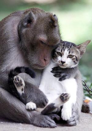 El mono de nombre Piek, de cuatro años de edad abraza a un pequeño gato al norte de Bangkok. Ambos animales fueron abandonados por sus dueños en un templo hace un año. Desde ese entonces se han convertido en buenos amigos y cuidan uno del otro.