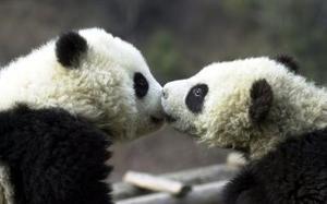 Osos panda son captados  jugando en un cento de investigación al sur de China.