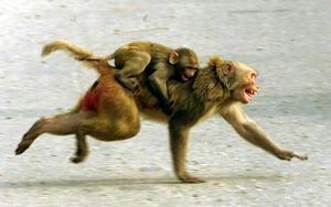 Un mono atraviesa las calles de la capital de la India con su bebé a cuestas. En Nueva Delhi es muy común ver monos vagando por las calles.