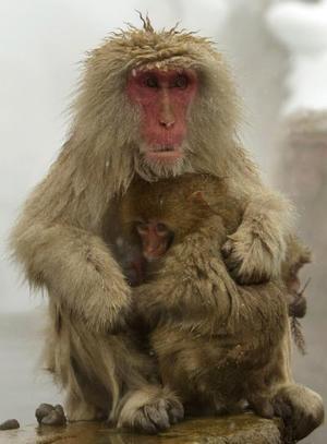 Un mono bebé abarza fuertemente a su madre en un parque de monos en Japón. Hay aproximadamente 300 monos en el parque,  el cual es el único lugar en el mundo donde los monos se bañan en  primavera.