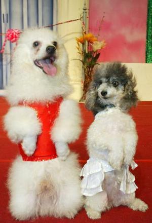 Los perros miniatura Rambo y Josie en su ceremonia de boda en Bangkok con el fin de festejar la llegada del día del amor en Bangkok.