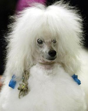 Este French poodle miniatura espera ansioso su turno para participar en un show en Nueva York