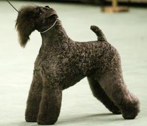 Un perro Kerry Blue Terrier posa durante una competencia  de perros. 'Bufanda Miguel' es el nombre de este perro de 7 años de edad  que ganó la competencia al mejor perro del 2003 en California