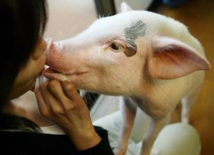 Si usted cree que su mascota es realmente especial, debería saber que en Japón una nueva moda se está imponiendo: los cerdos. Sí, ahora las familias japonesas llevan pequeños cerditos a pasear al parque, los alimentan y hacen jugar junto a los perros y gatos que también son llevados por sus dueños a estos sitios.