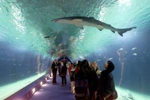 Turistas observan sobre sus cabezas  un tiburón en un  océano-acuario situado en el parque de Valencia en Europa . Este 'Oceanarium' alberga a 45,000 criaturas de diferentes especies en un área de 110,000 metros cuadrados  y 42,000 litros de agua que equivalen a 15 albercas olímpicas.