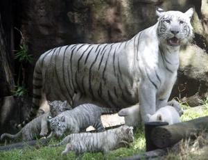 En pocos días se pondrá en marcha un concurso en el que se elegirán los nombres de los tigres entre las propuestas que acerquen los niños, dijeron empleados del zoológico. Esta es la segunda vez que Bety y Conde son papás. Un año y medio atrás tuvieron trillizos.
