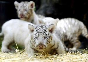 Los tigres pesan entre tres y seis kilos, pero se espera que crezcan hasta los tres metros de largo y alcancen 250 kilos --en el caso de los machos-- y 160 kilos las hembras.