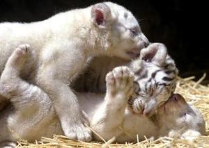 El tigre blanco de Bengala, el mayor de todos los felinos, es natural de Asia. Pero la caza indiscriminada --interesada en su hermoso pelaje-- y la destrucción de su medio ambiente han dejado muy pocos en el mundo.