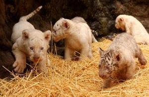 Aunque los pequeños vieron la luz el pasado 18 de noviembre luego de tres meses y medio de gestación, recién fueron mostrados al público junto a sus padres, Bety y Conde, los tigres blancos que desde 1997 son una de las mayores atracciones del zoológico de Buenos Aires.