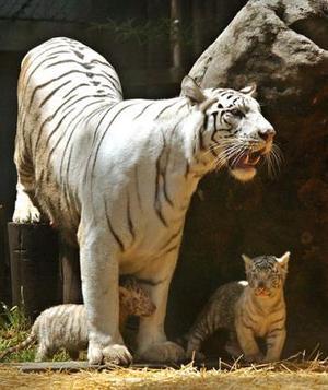 La pequeña familia de tigres blancos de Bengala que existe en el mundo se agrandó con la llegada de sextillizos, que fueron presentados oficialmente en el zoológico de Buenos Aires.
