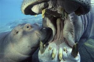 Un hipopótamo africano de tres meses de edad llamado Jazi fue fotografiado  junto a su madre Funani en un zoológico  en San Diego.   El zoológico alberga  cinco de este tipo de hipopótamo.