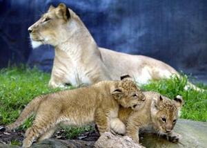 Leones africanos de dos semanas de nacidos fueron captados en un zoológico de Sidney.