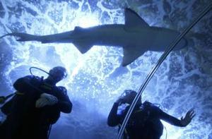 Los jugadores de rugby Alix Popham y Robert Sidoli observan un tiburón gris nadar cerca de ellos en el Acuario de Sydney.