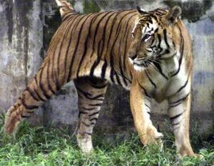 En el zoológico de Bangladesh se pasea un tigre de bengala, estos felinos se encuentran en peligro de extinción debido a la caza desmedida de estos animales en el mundo.