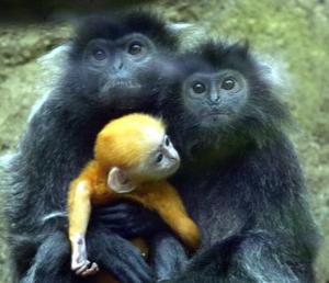 Un pequeño gorila silver de un mes de edad fue captado con su madre en el parque safari de Indonesia.