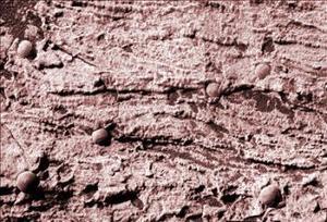 Para el subdirector de Ciencia Espacial de la NASA, Ed Weiler, esta confirmación de que había agua estancada llevará a la agencia espacial estadounidense a tratar de averiguar si hubo microorganismos que vivieron allí. Weiler señaló que el hallazgo tiene profundas implicaciones para la astrobiología.