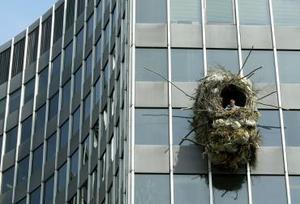 El artista belga Benjamín Verdonck captó  un nido gigante que cuelga a 30 metros de una ventana de un edificio en Bruselas.