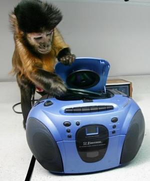 Un mono de diez años de edad introduce un CD en un equipo de sonido  mientras demuestra las tareas para las que fue entrenado  por la Organización Monkey Helpers . Esta organización que eseña a monos cómo ayudar a gente discapacitada en Boston  ha entrenado a más de 93 que actualmente viven con sus dueños.