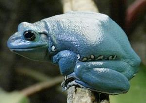 Una rana china fue captada en el Museo  de Historia Natural en Nueva York , la exhibición