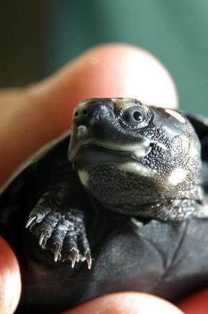Foto tomada de la primera tortuga negra de los pantanos (Siebenrockiella Croassicolis) en ser incubada en un zoo de Europa, y que ha salido del cascarón en el zoo de Bristol este verano. Esta rara tortuga es el primer descendiente en nacer de un grupo de diez mil tortugas rescatadas, destinadas al consumo humano, en una operación en contra del tráfico de especies desarrollada en Hong Kong en el 2001. El zoo de Bristol participó en el rescate, cuidando a los animales ya que se encontraban en pésimas condiciones.  <p> La tortuga tiene ocho semanas, no es más grande que una nuez, y pesa 30 gramos.