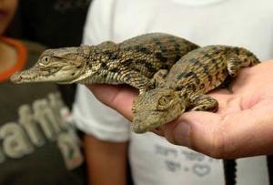La encargada del zoológico muestra unos bebés cocodrilos que fueron vendidos como mascotas a unos israelíes.