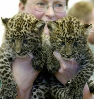 Una veterinaria posa con los leopardos que tienen seis semanas de nacidos, sus nombres son  Namlea y KendarI.  <P> Fueron presentadas en el Zoológico de Berlín.