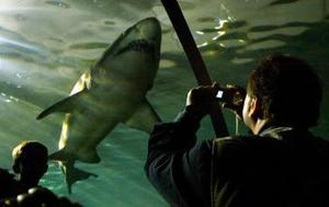 Unos buzos fueron captados al lado de un tiburón gris en las aguas de un acuario en Sydney. <p>  Este lugar cuenta con una reserva natural para la preservación de los tiburones.