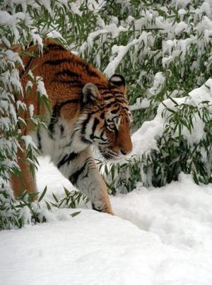 Sofía, una tigre de bengala de catorce años, camina por la nieve en el zoológico Debrecen en Hungría.   EFE