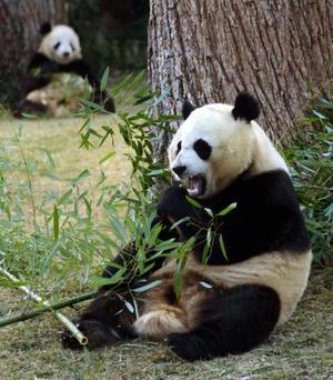 Los pandas gigantes Tian Tian y Mei Xiang (der) juegan con un bambú en el Zoológico Nacional de Washington.