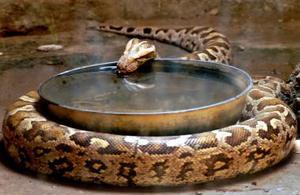 Un pitón fue captado en el zoológico de India en la ciudad Lucknow.