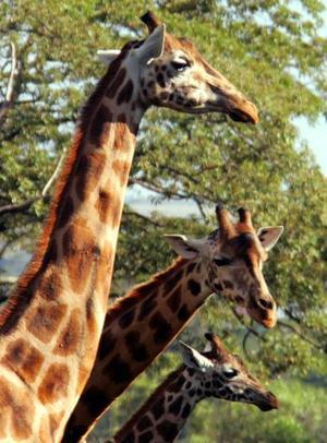 Una jirafa Rothschild fue captada en el Parque de Nairobi. Esta especie de jirafa puede medir hasta 5.50 metros de alto.