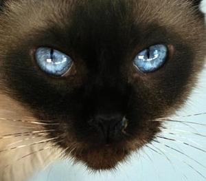 Un gato siamés fue captado en el zoológico de Jordania.