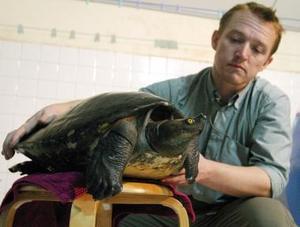 """El miembro de la Sociedad de la Vida Salvaje, Martín Gilbert, alimenta a una especie rara de tortuga llamada """"Royal"""". Esta tortuga tiene implantado un microchip en su pierna para evitar que se pierda."""
