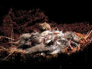 Foto difundida por la real sociedad británica para la protección de las aves (rspb, en inglés) muestra los restos de un ave marina ante un ratón en la isla de gough, en el Atlántico Sur.<p> La rspb ha informado de que ratones de gran tamaño están devorando cerca de un millón de crías de aves marinas cada año en la región del Atlántico Sur y que, en consecuencia, algunas especies están en peligro de extinción.