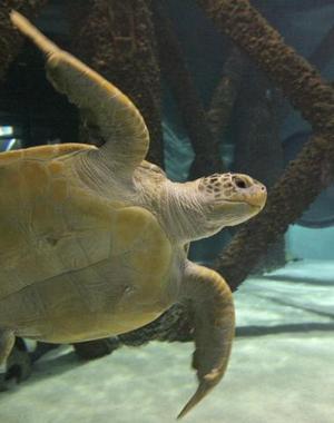 El Rey Midas, una tortuga verde de 136 kilos fue captada en el tanque de un Acuario en Nueva Orleans Luisiana.