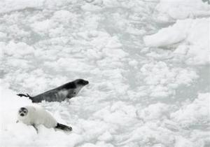 En las aguas del golfo, la situación parece no ser buena ni para los pescadores dedicados a la caza ni para las focas.