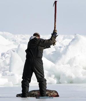 Las imágenes de pescadores apaleando las cabezas de las focas, muchas de ellas de pocas semanas de vida, tomadas por HSUS e IFAW, recorren todo el mundo y generan protestas generalizadas para desmayo del gobierno canadiense.