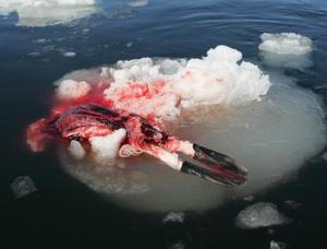 La vuelta de los pescadores a la caza, y en números no vistos desde hace 40 años, ha supuesto el retorno de los grupos de protección animal a los hielos, aunque ahora las normas canadienses impiden que los activistas puedan interferir con la caza.