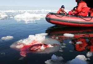 Cazadores de focas canadienses y organizaciones protectoras de los animales se han enzarzado en un peligroso juego en las gélidas aguas del golfo de San Lorenzo, con pesqueros embistiendo lanchas neumáticas y éstas persiguiendo a los cazadores.